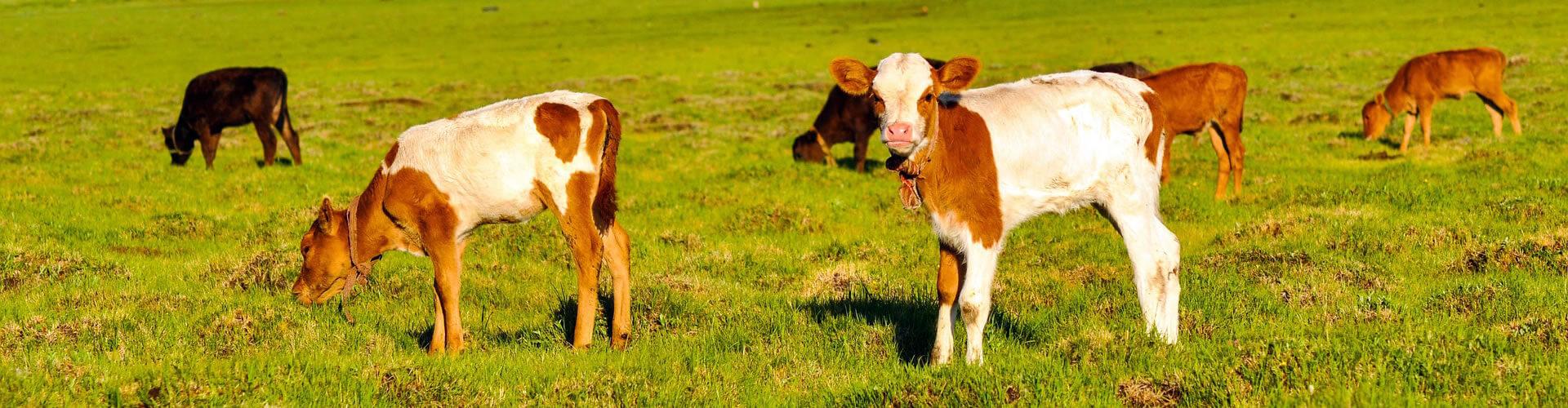 Compra de ganado vacuno de Euskadi